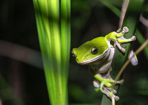 為保育諸羅樹蛙而種植的有機烏殼綠竹筍