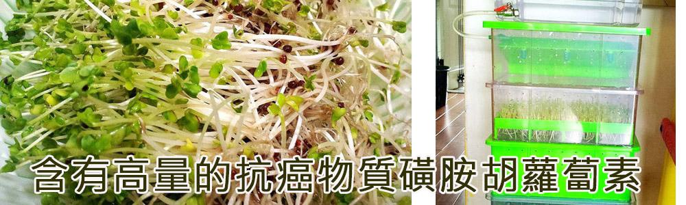 青花椰菜芽種植