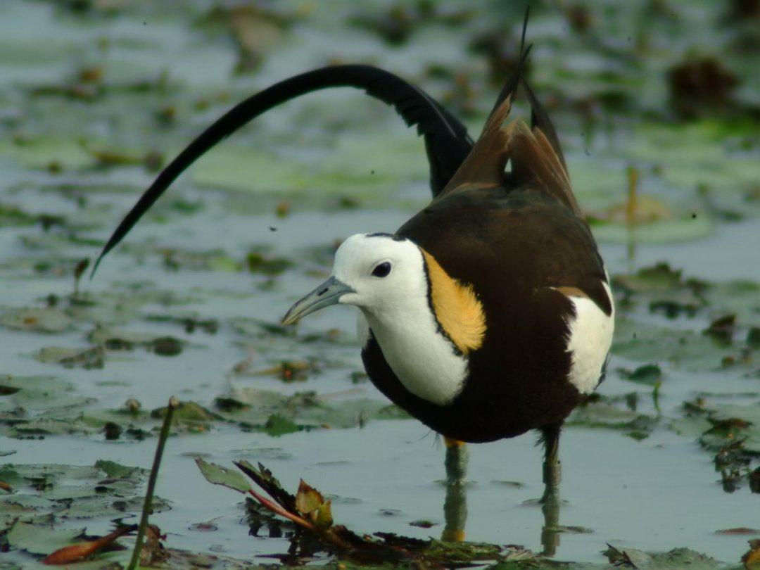 水雉是台灣非常美麗而優雅的留鳥