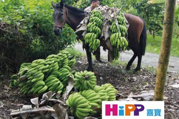 農場職員用馬運送有機香蕉