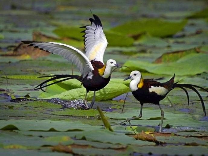 為復育水雉鳥而種植的四角菱