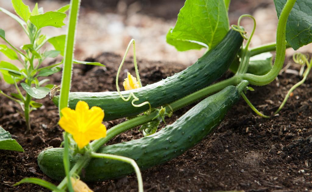 小黃瓜向來被視為是最適合「清/輕 鬆一夏」的聖品